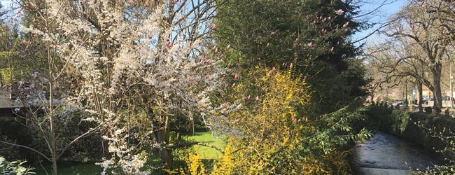 Blütenpracht am Klosterbach in Haslach im Kinzigtal.