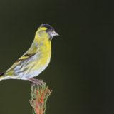 Zweiter Feldberger Vogel-Tag mit Vorstellung des Ranger-Mobils