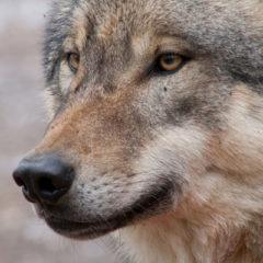 Wolfswege Schwarzwald